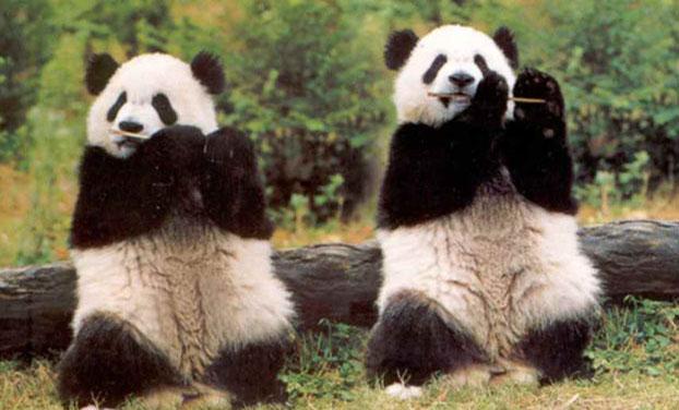 vuon gau panda